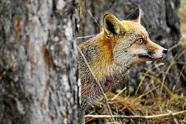 TV-Tipp: Die Reise eines Fuchses durch Spanien
