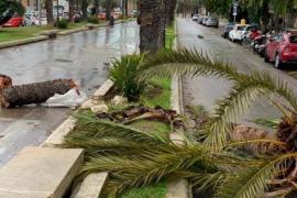 Umgestürzte Palma em Paseo Marítimo.