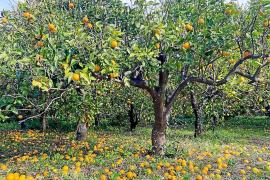 Zitrusbauern lassen Früchte auf Mallorca liegen