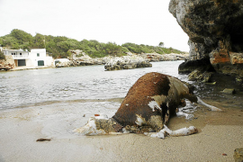 Rätsel um tote Kühe im Meer vor Mallorca gelöst
