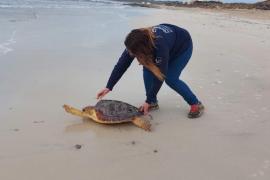 Großteil der geretteten Meeresschildkröten von Müllresten befreit