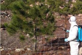 Behörden auf Mallorca gehen großflächig gegen Prozessionsspinner vor