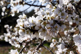 Mandelblüten bei Binissalem.