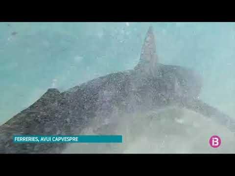 Mehrere Meter langer Blauhai taucht vor Küste von Menorca auf