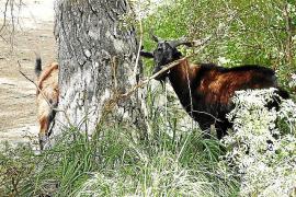20.000 Euro Strafe für Jagd auf mallorquinische Wildziege