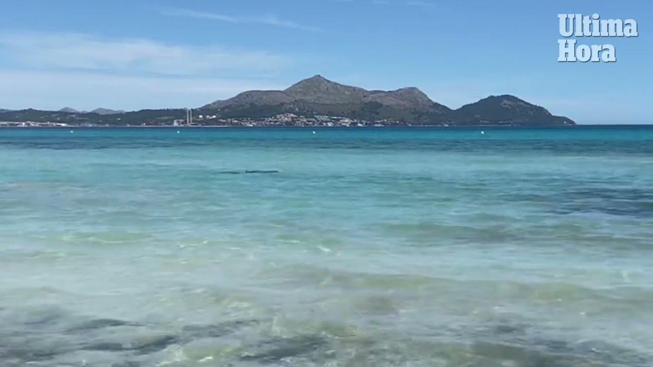 Delfin erschreckt Badegäste vor Playa de Muro