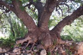 Neue Exemplare auf der Liste der magischsten Bäume auf Mallorca