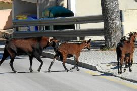 Tierischer Besuch: Wilde Ziegen stürmen private Gärten in Andratx