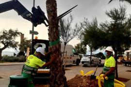 Playa de Palma bekommt 400 neue Palmen