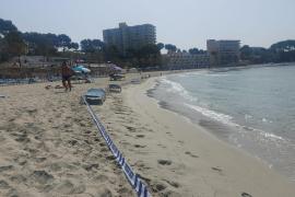Beliebter Sandstrand in Peguera wegen Algen gesperrt