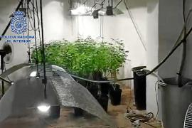 Marihuana-Plantage in Llucmajor entdeckt
