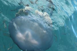 Vermehrt Riesenquallen vor Mallorca-Küste entdeckt