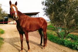 Teures Rennpferd auf Mallorca gestohlen