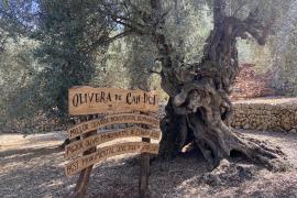 Tausendjähriger Olivenbaum ist der Stolz der Insel