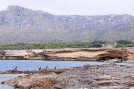 Schroff und unverwechselbar ist die Küste nordöstlich von Colònia de Sant Pere.