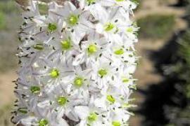 Die Weiße Meerzwiebel steht bereits Mitte September in Blüte.