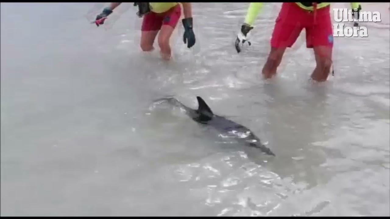 Rettungsschwimmer befreien Delfinbaby an der Playa de Muro