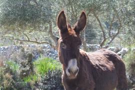 Esel im Olivar: Natürliche Düngung.