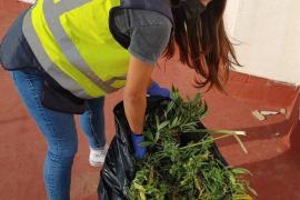 Mann züchtet an Playa de Palma zwei Meter hohe Marihuana-Pflanzen