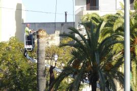 Manacor – Palmen von Schädlingen befallen
