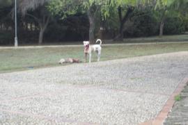 Cala Bona – Kampfhund-Attacke
