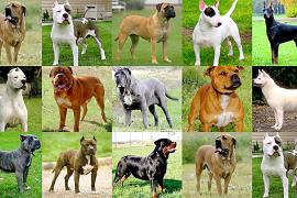 Son Servera – 32 Anzeigen gegen Kampfhundebesitzer