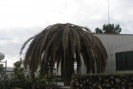Palmrüssler bedroht Palma