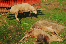 Calvià – Mit Hunden gegen Schafe