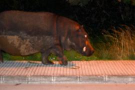 Nilpferd geht spazieren