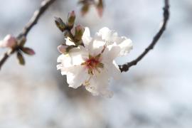 palma almendros en flor fotos teresa ayuga