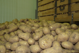 Erntebeginn in Mallorcas Kartoffeldorf