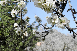 Späte Mandelblütenfiesta