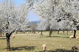 Wenn Schafe auf den Plantagen weiden - wie hier bei Bunyola - wird das Mandelblütenpanorama noch eine Spur weißer.