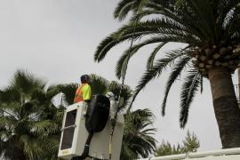 15 Prozent aller Palmen in Palma krank