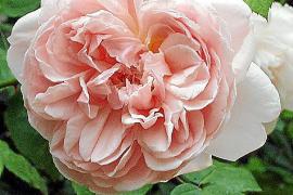 Yannick Vu liebt ihre Rosen und den betörenden Duft, den sie ausströmen.