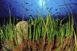 Die Posidonia spielt eine wichtige Rolle im mediterranen Ökosystem.