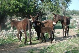 Urlaub für die Esel in Esporles