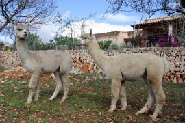 Zum Kuscheln nach Mallorca: Alpakas