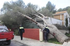 Baum trifft Haus, in Peguera.