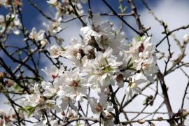 Weiter stürmisch und kalt – samt Mandelblüte