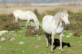 Schöner Wohnen: Zu den S'Albufera-Bewohnern zählen neben 70 Rindern und einigen Eseln auch mehr als 20 freilebende Pferde.