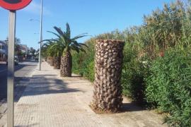 Nur noch Stümpfe, wo einst noch mächtige Palmen standen.