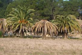 Das Insekt lässt die Palmen eingehen.
