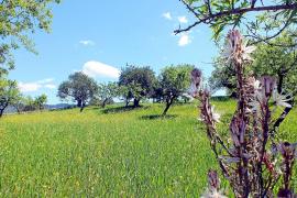 Gerade jetzt im Frühling ist die Gegend von Capdellà und Galatzó das reinste Fest für die Sinne.