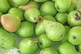 """Die frühe Birnensorte """"Peras de Sant Joan"""" ist nur aprikosengroß, aber köstlich."""
