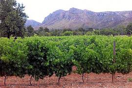 Seit 2006 wachsen wieder Weinreben am Fuße der Artà-Berge.