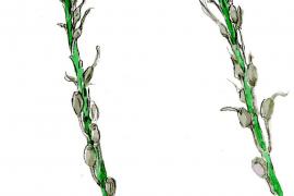 Pflanzenarten, die als endemisch gelten: Affodill.