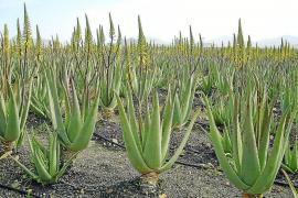 Aloe Vera gedeiht gut auf Mallorca