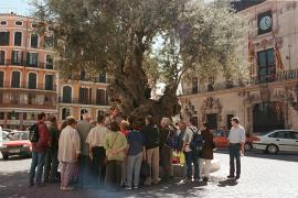 Der alte Olivenbaum vor dem Rathaus in Palma ist dekorativ und dient häufig als Treffpunkt.