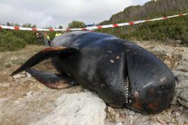 Toter Grindwal an der Küste von Menorca angetrieben